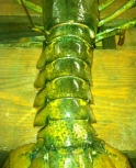 lobstercarapace