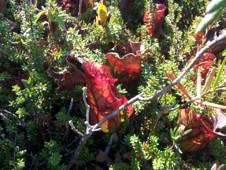 "In this nutrient-poor bog, these carnivorous pitcher plants subsist by trapping insects in their ""pitcher"" filled with sweet nectar"