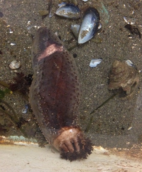North Atlantic sea cucumber with feeding tree extended!