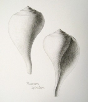 The whelk Busycon spiratum - graphite