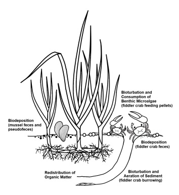 Ecological relationships between marsh cordgrass, mussels, and fiddler crabs. Published in Hughes et al. 2013.